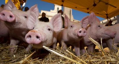The U.S. Department of Agriculture recently said the die-off has had a hand in shrinking the nation's pig herd by 3 percent, to about 63 million pigs. | AP